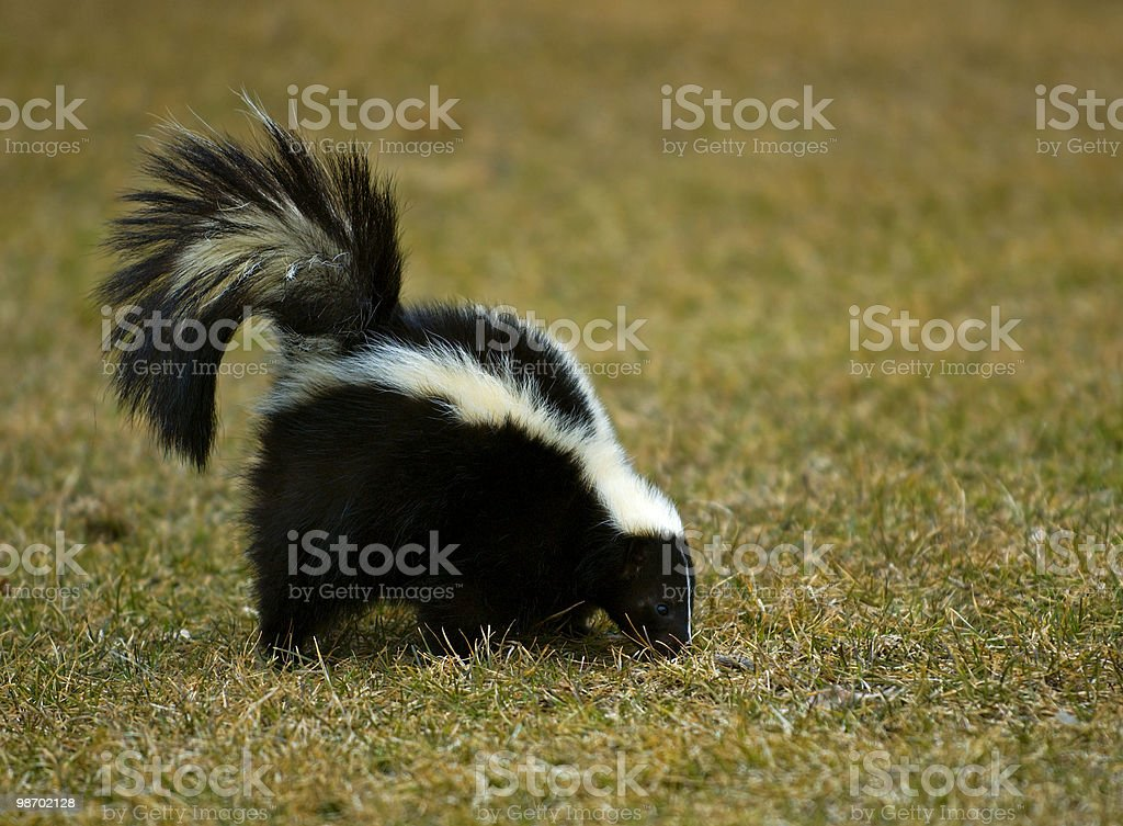 Striped Skunk Sniffs in the Grass stock photo