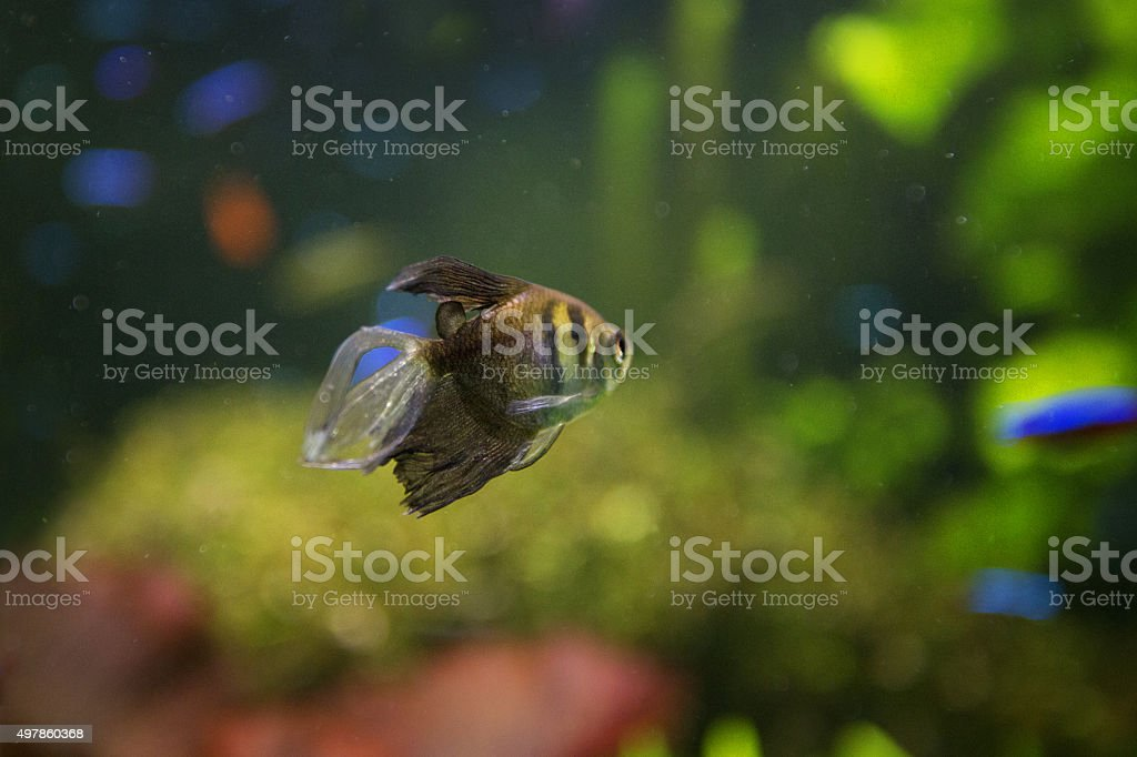 Striped small fish stock photo