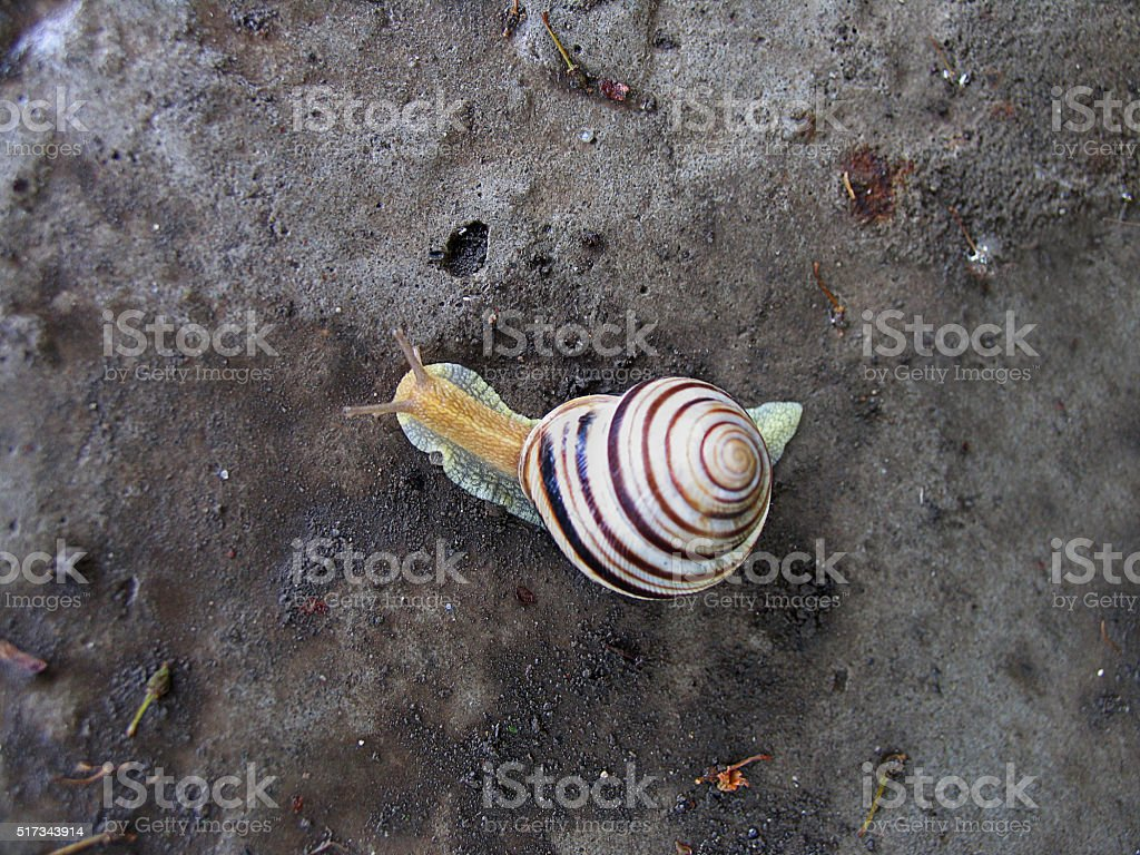 Striped snail moving on the stone. Top view stock photo