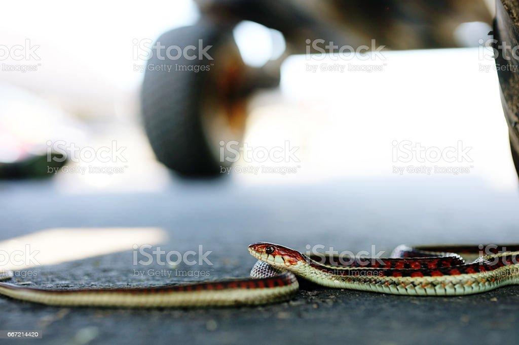 Striped Snake stock photo