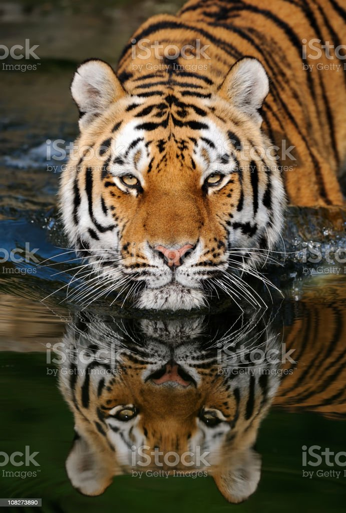 A striped tiger entering water stock photo