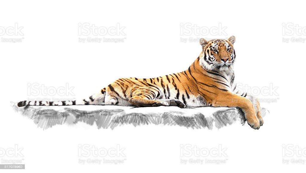 striped tiger, which lies on the rocks stock photo