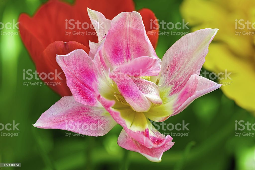 Striped tulip royalty-free stock photo