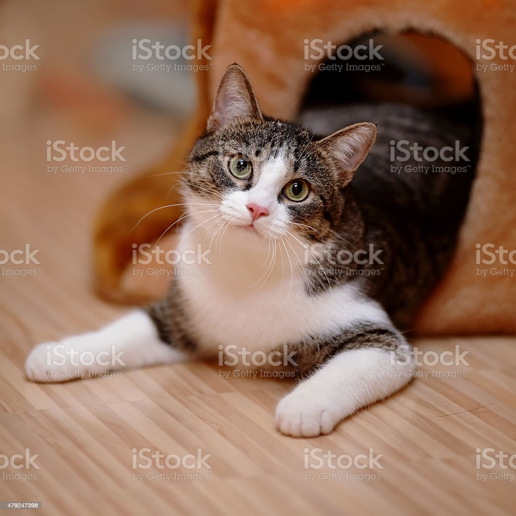 Striped with white a cat. stock photo
