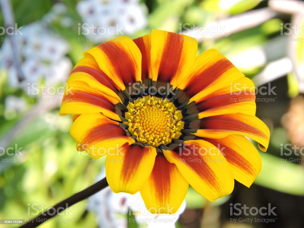 Striped yellow and red Coastal Gazania flower stock photo
