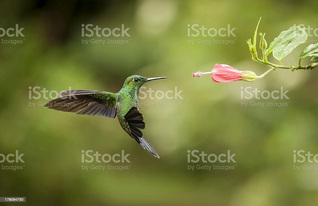 Striped-tailed Hummingbird stock photo