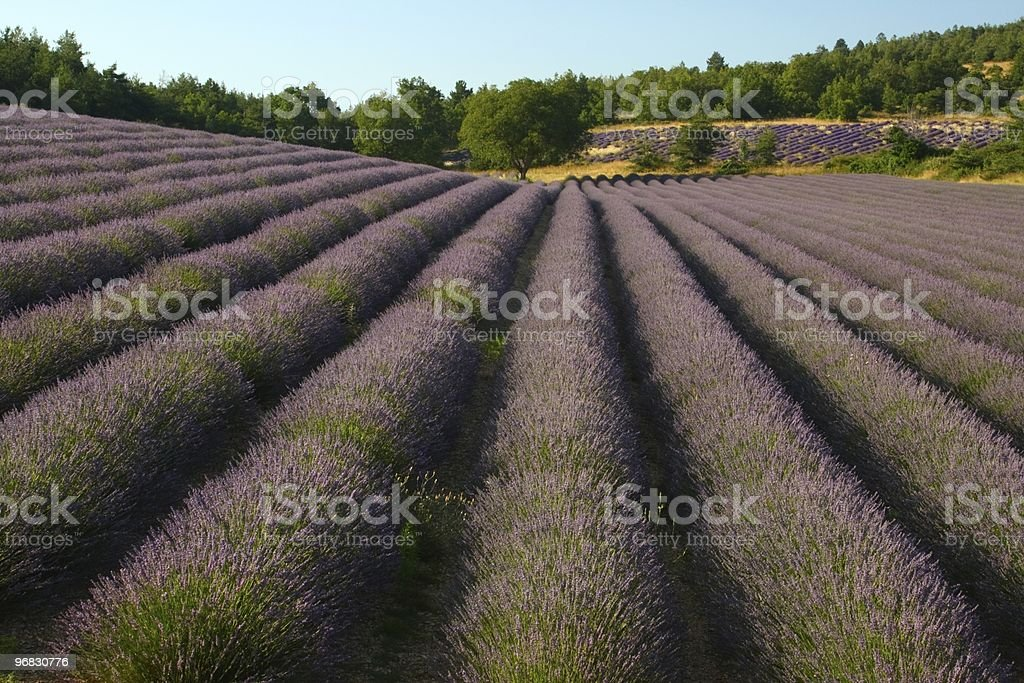 Stripes of Lavender in Summer stock photo