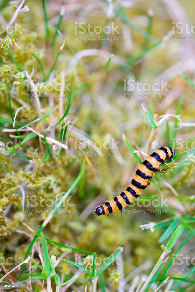 Stripey caterpillar stock photo