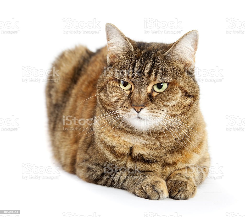 stripped brown cat on white stock photo