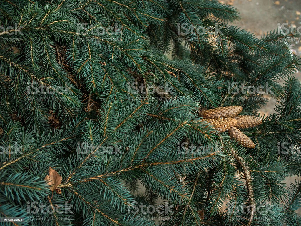 Strobiles growing on spruce branches stock photo