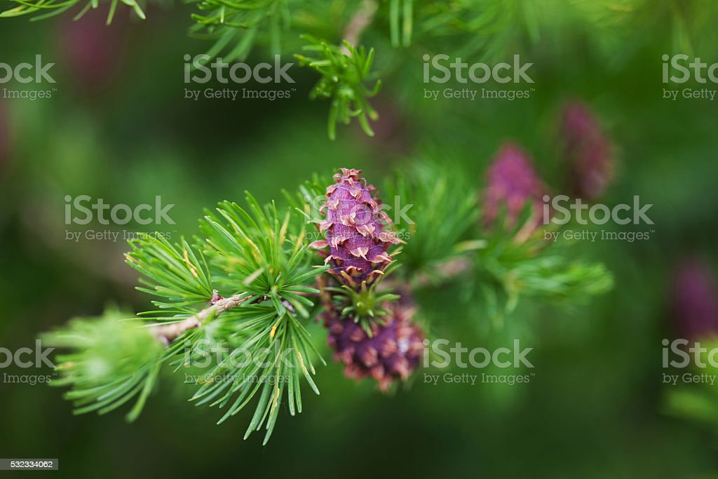 Strobiles of the larch tree stock photo