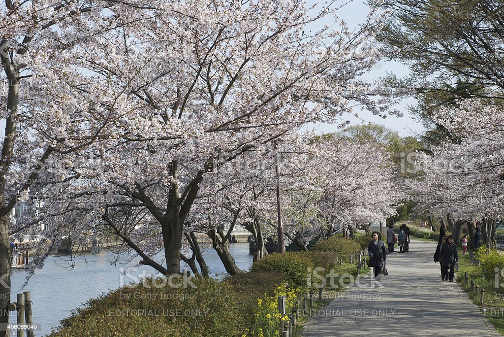 Strollers and cherry blossom stock photo