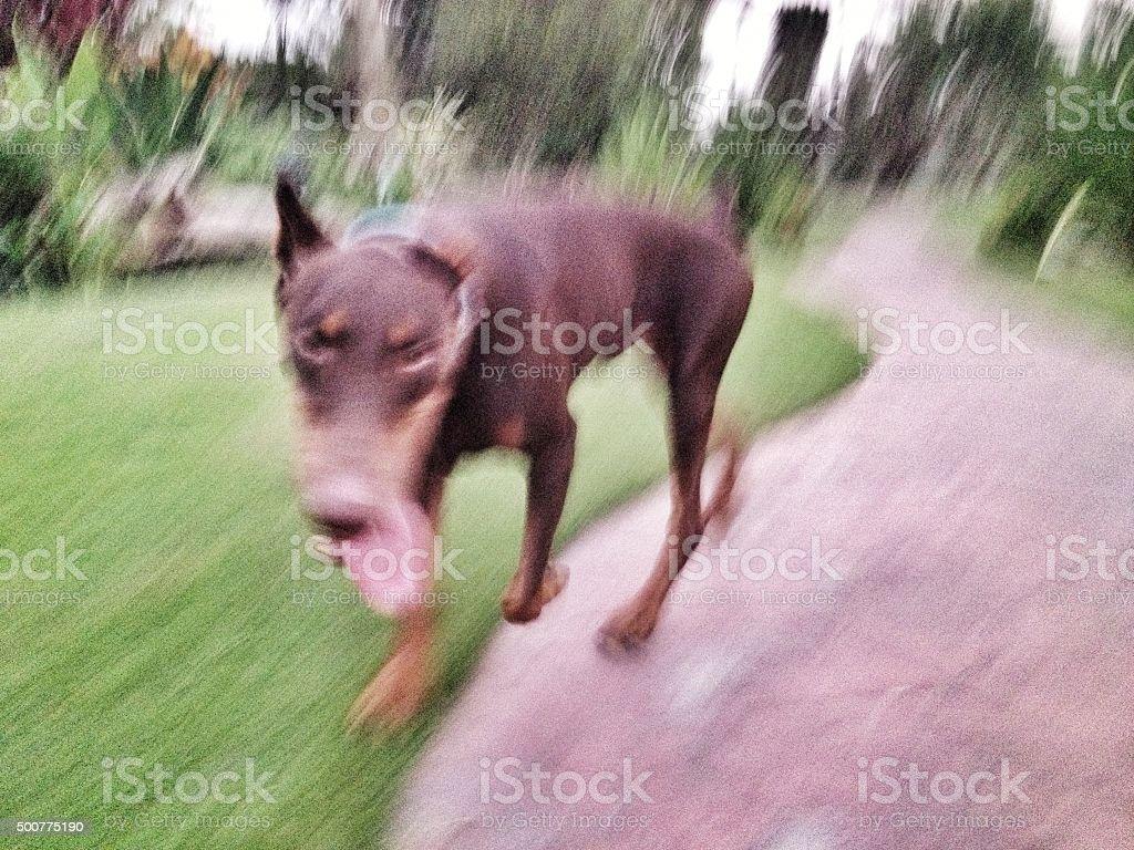 strolling dog stock photo