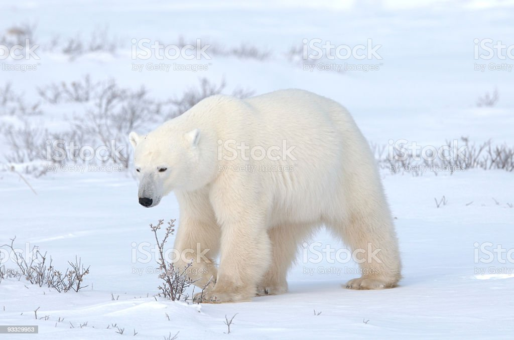 Strolling Polar Bear stock photo