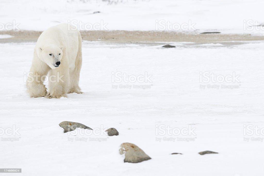 Strolling Polar stock photo