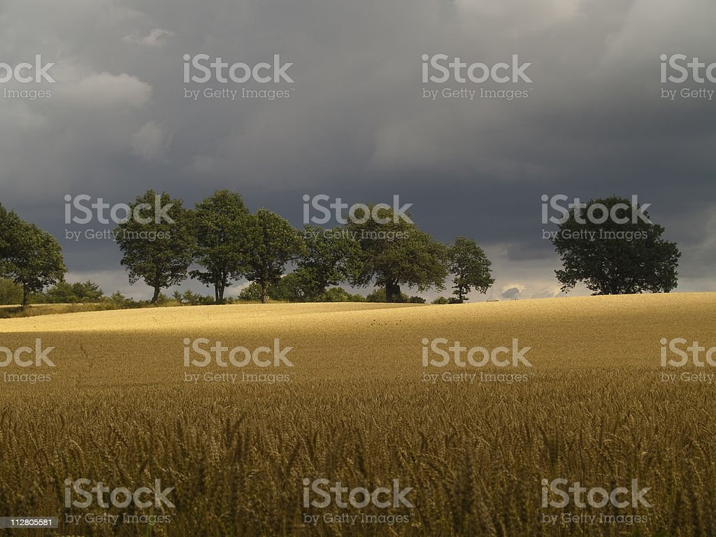 Strom approaching over wheat field and trees stock photo