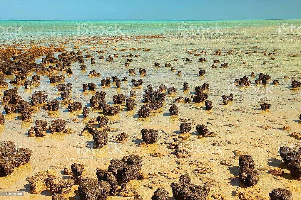 Stromatolites in Shark Bay, Australia stock photo