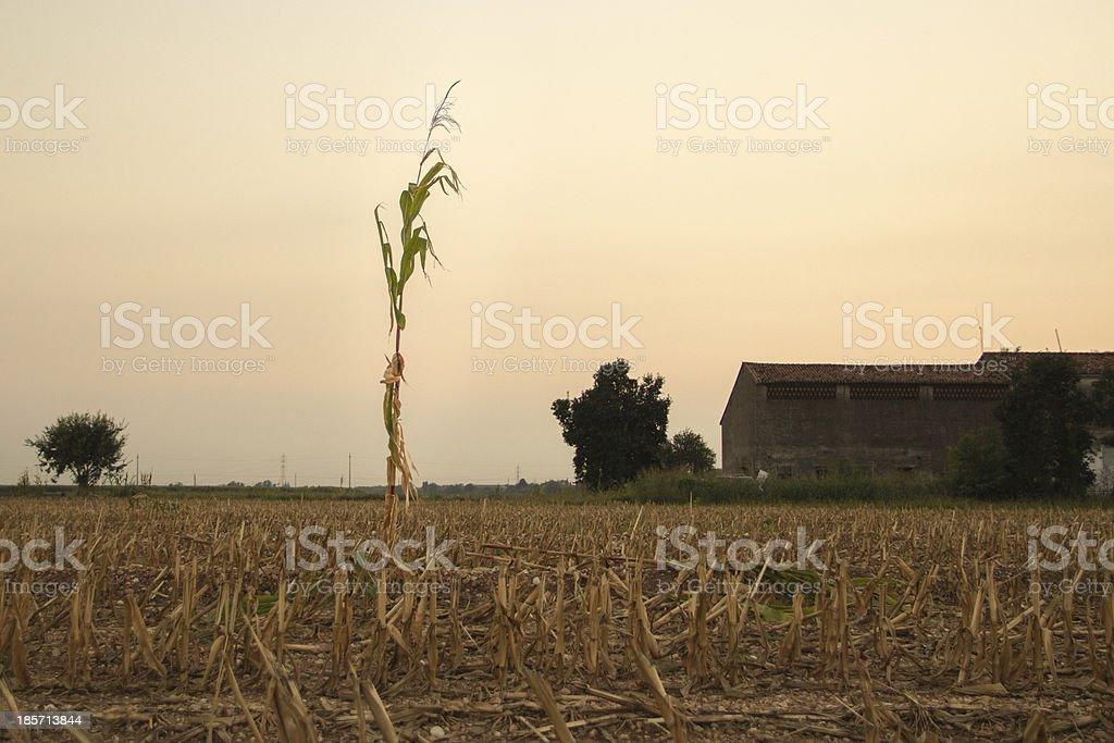 Strong Corn Survivor royalty-free stock photo