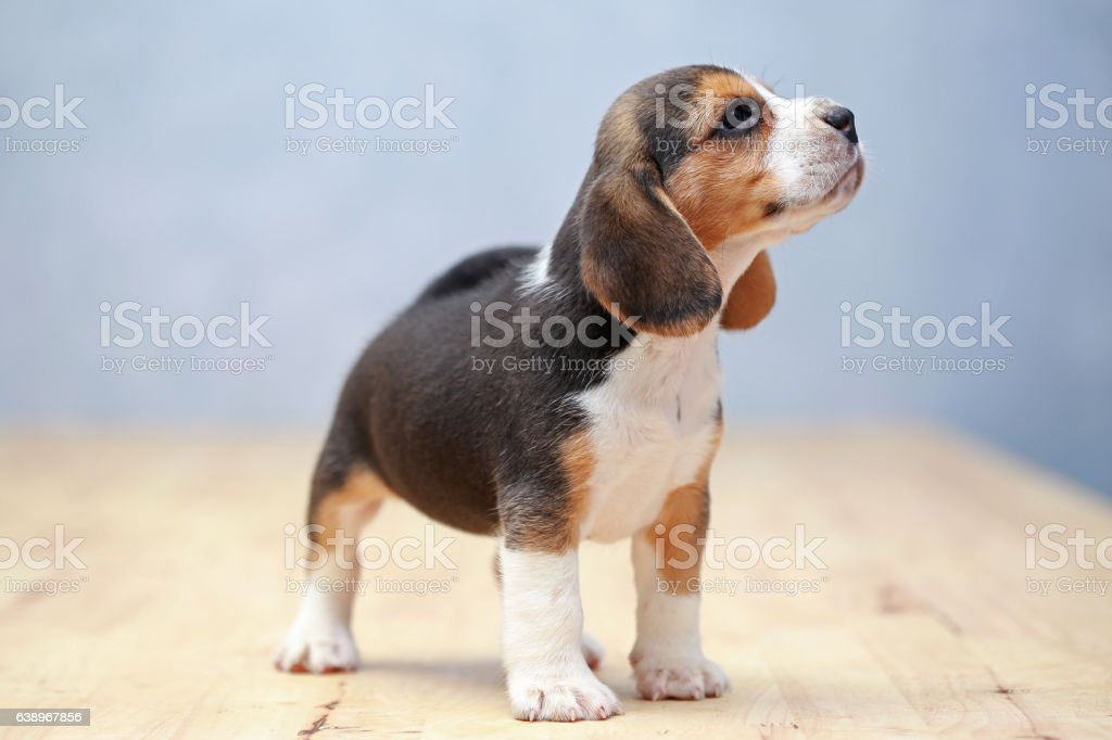 strong female beagle puppy in action stock photo