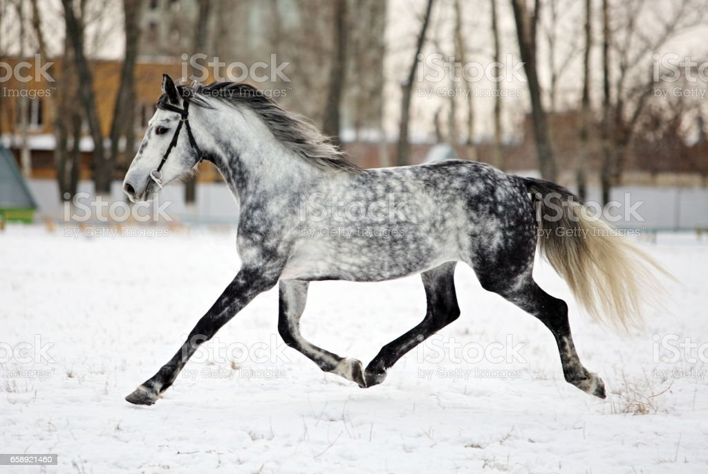 Strong pure gray horse trotting stock photo