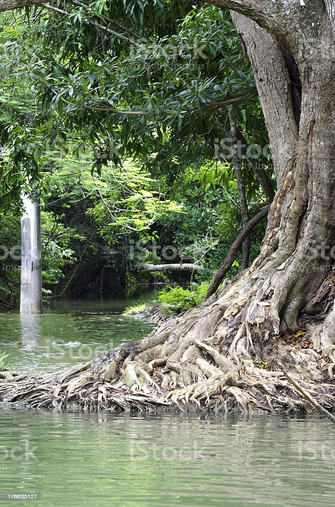 Strong root of big tree stock photo