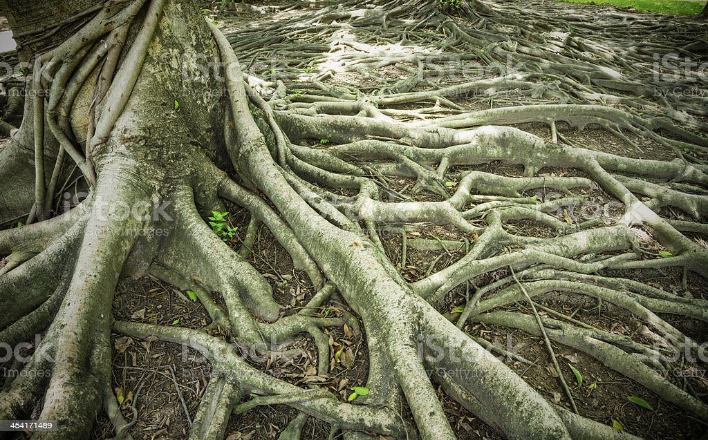 Strong Root royalty-free stock photo