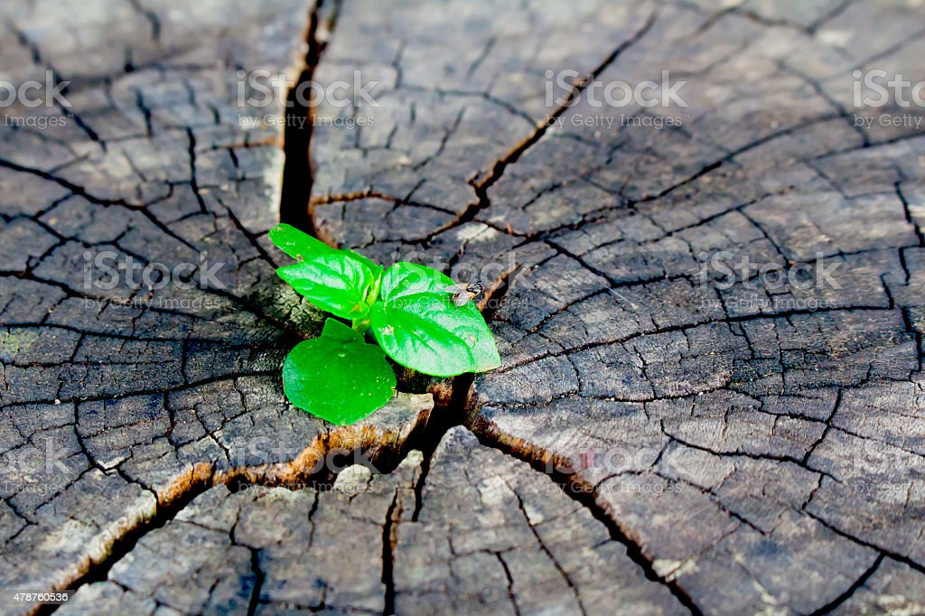 strong seedling growing in the center trunk tree stock photo