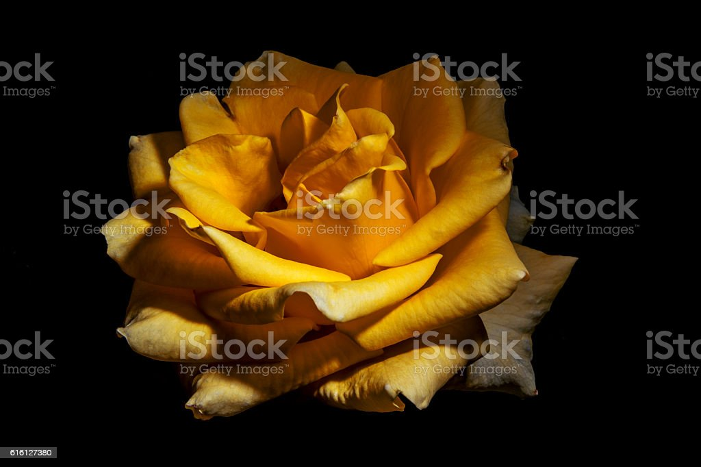 Strong Yellow Rose stock photo