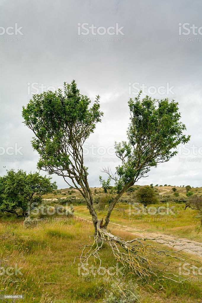 struck in two with blown out middle branche stock photo