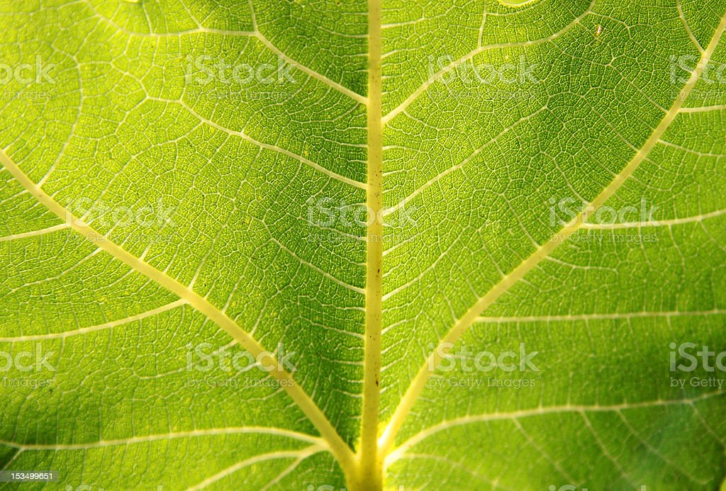 Structure of a green leaf stock photo