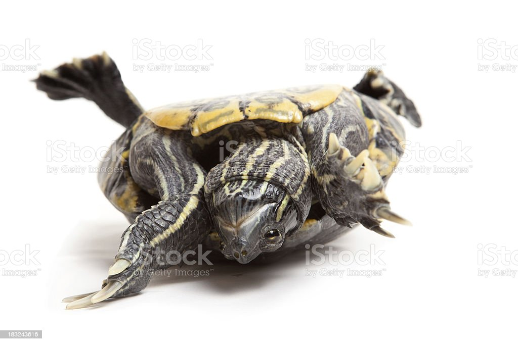 Struggling Upside Down Turtle stock photo