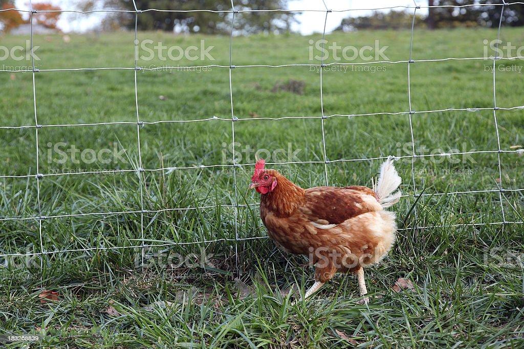 Strutting Hen royalty-free stock photo