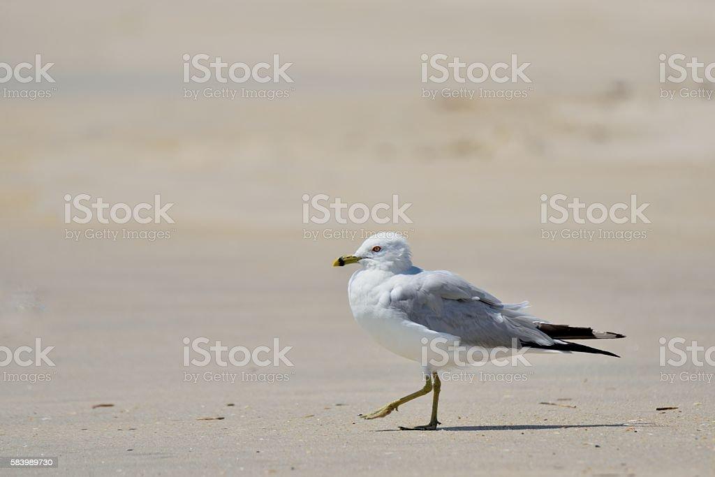 Strutting Ring-billed Gull stock photo