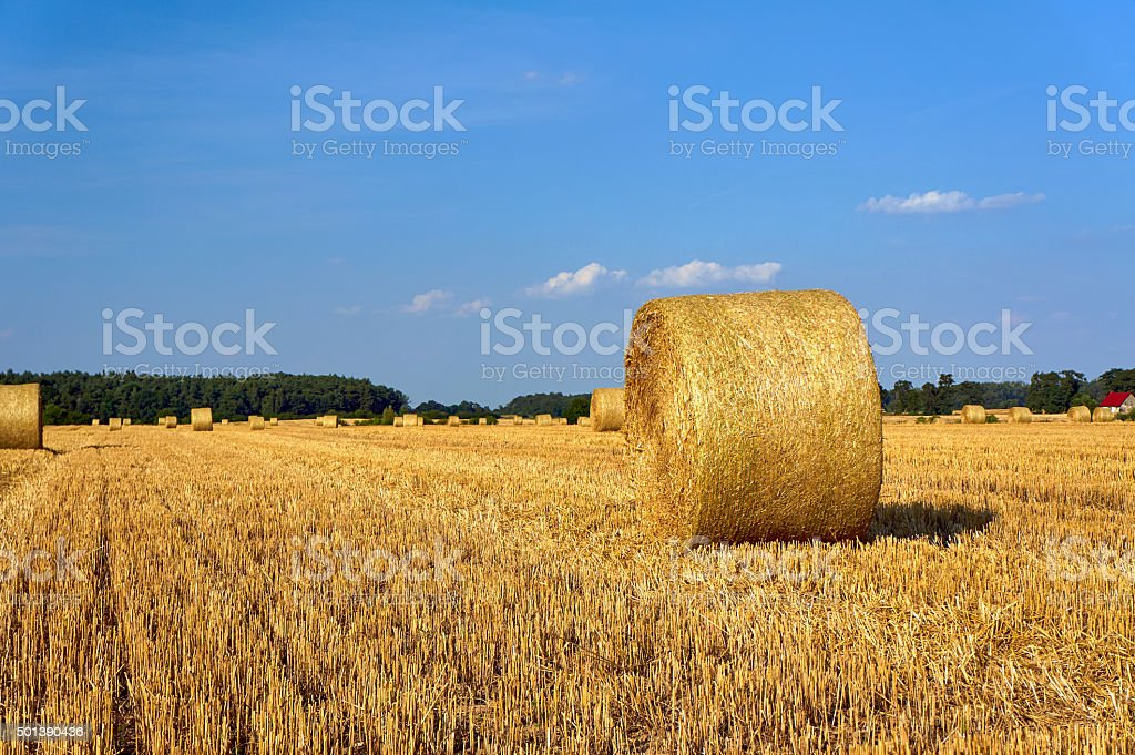 Stubble after harvest in Greater Poland stock photo