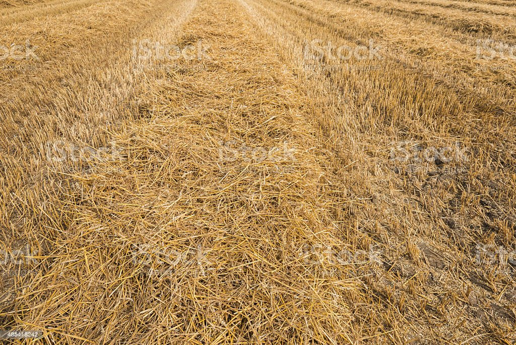 Stubble field after the harvesting threshing of the wheat stock photo