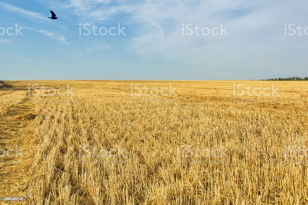 Stubble field after wheat harvesting, close up stock photo