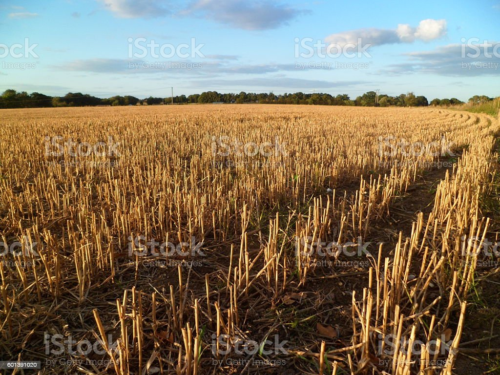 Stubble in a wheat field stock photo