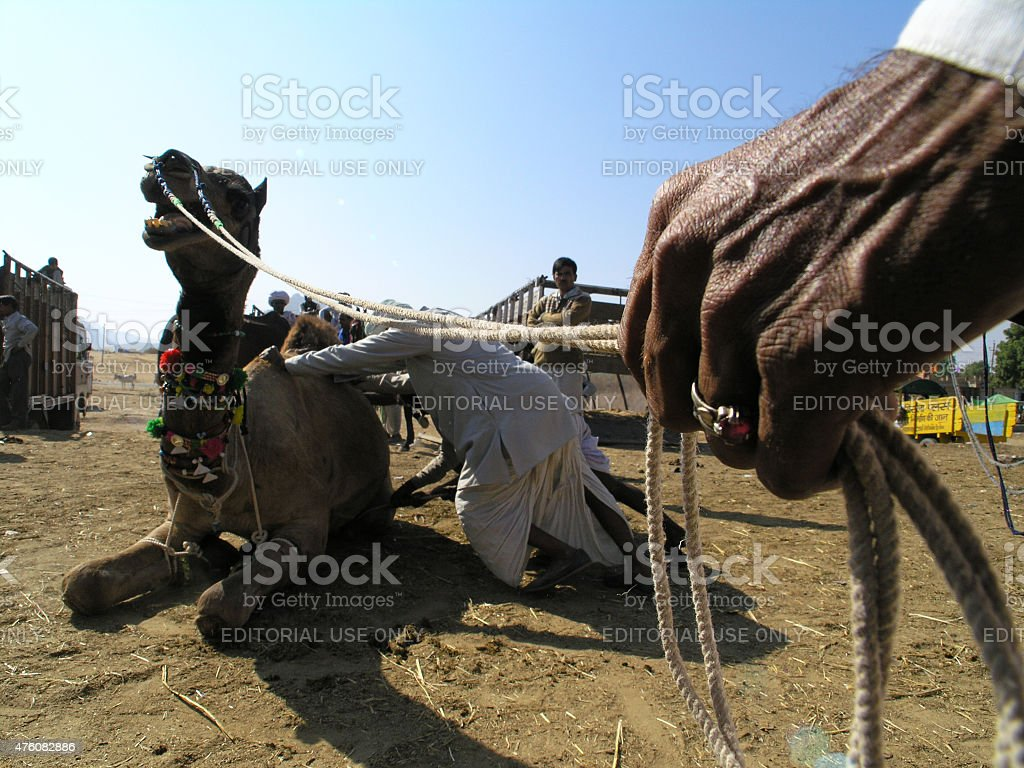 Stubborn Camel. Pushkar, Camel Fair. India. stock photo