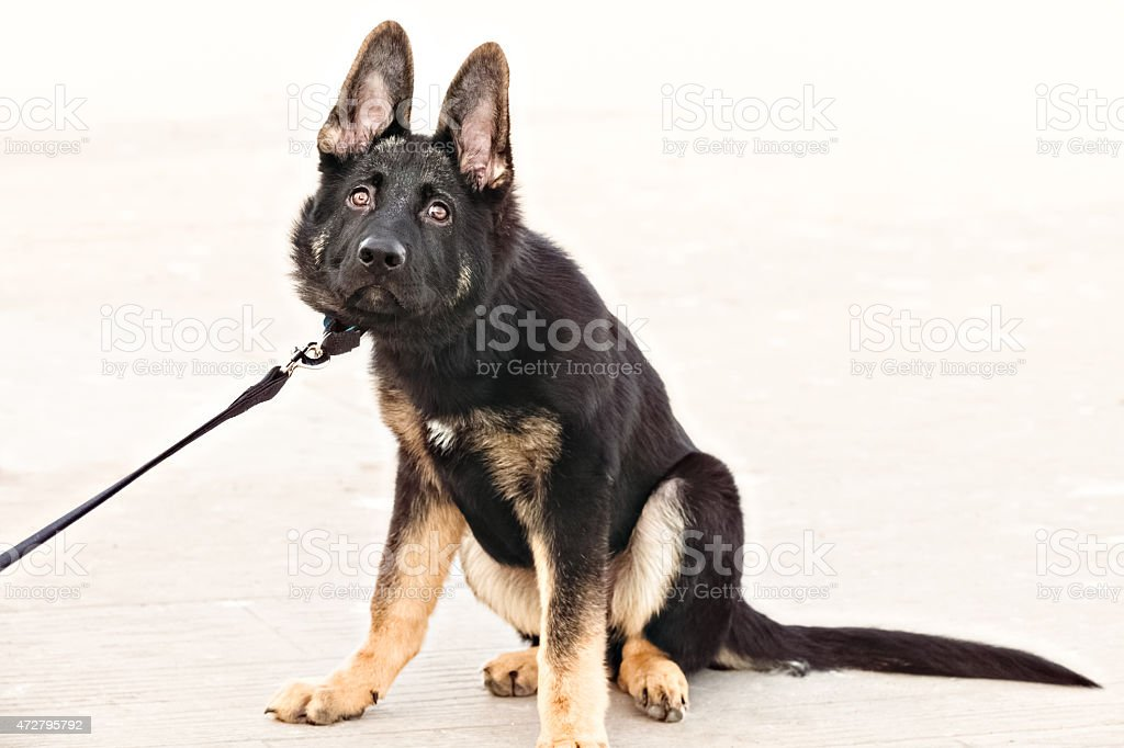 A stubborn German Shepherd puppy pulling back on his leash, while...
