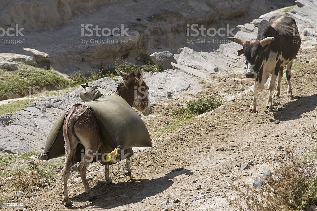 Stubborn mule and cow royalty-free stock photo