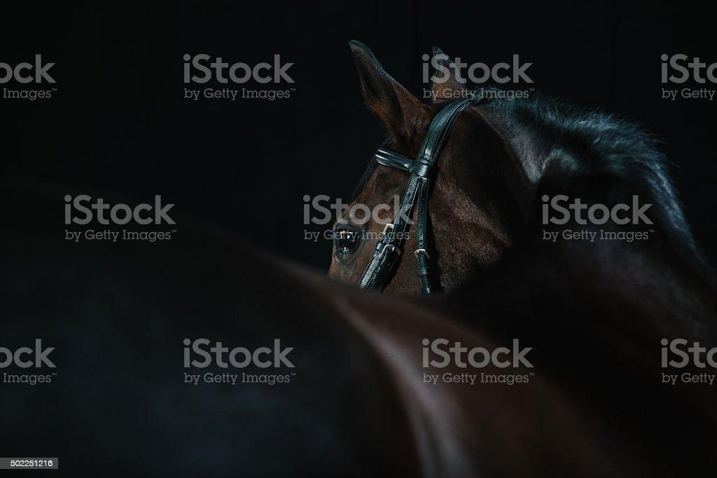 Studio Horse Portrait stock photo