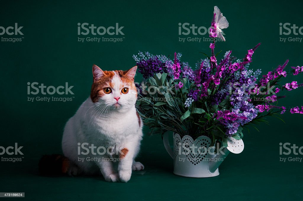 studio de photographie d'un beau chat photo libre de droits