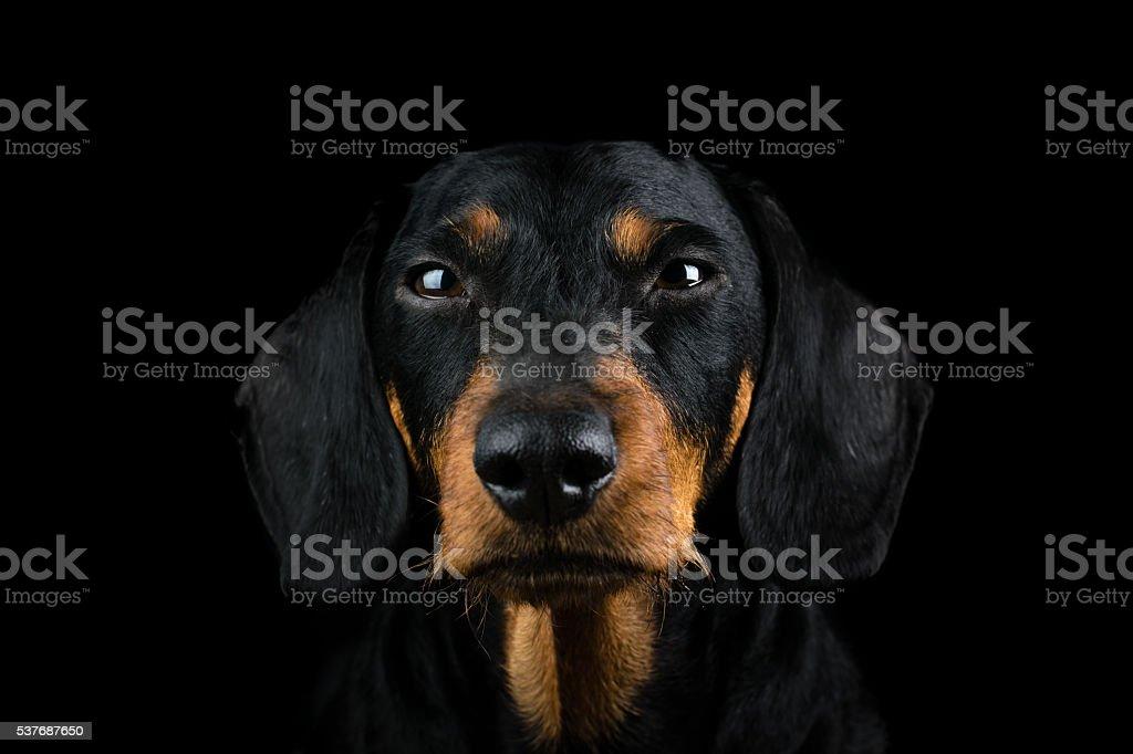 Studio portrait dachshund front stock photo