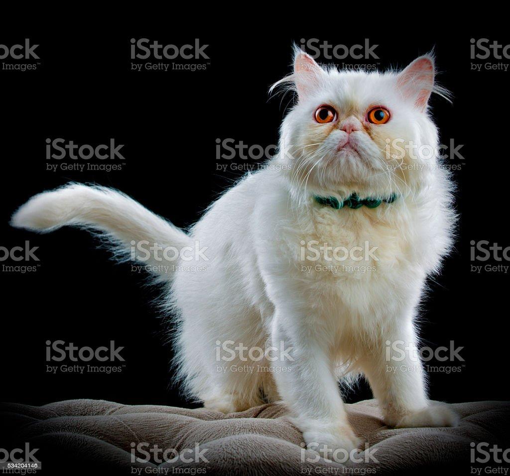 Studio portrait of a persian cat stock photo