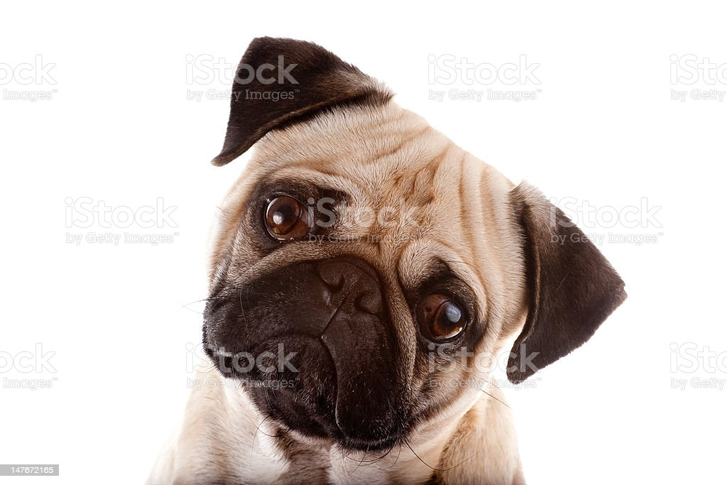 Studio Portrait of a Pug stock photo