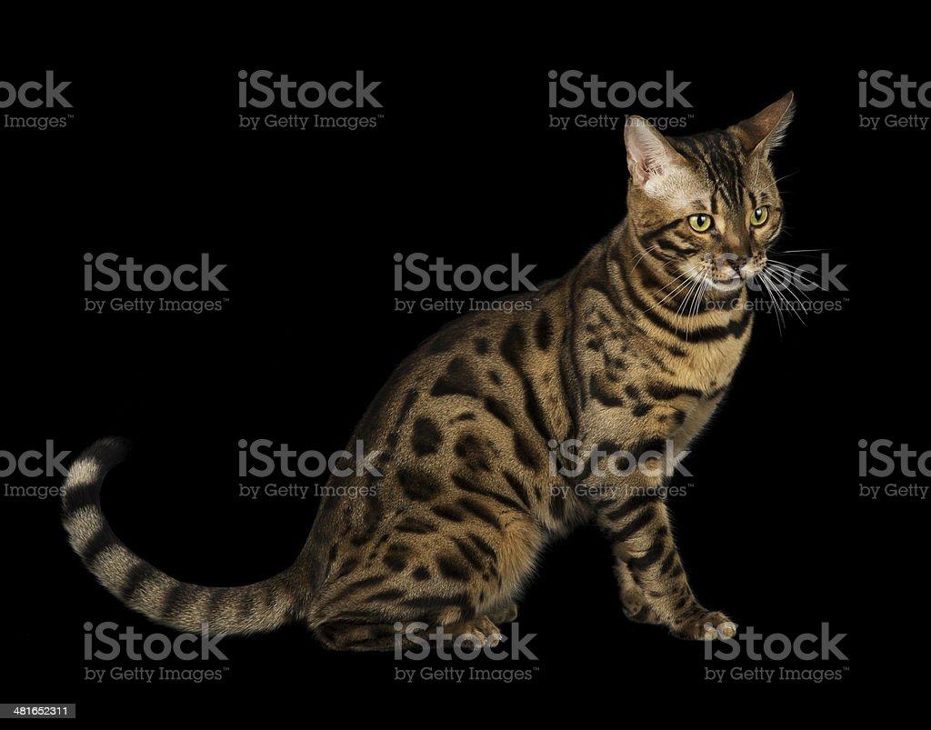 Studio portrait of bengal cat stock photo
