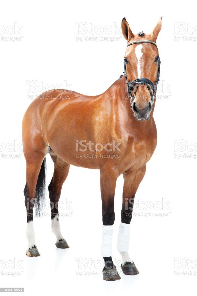 studio shoot of horse stock photo