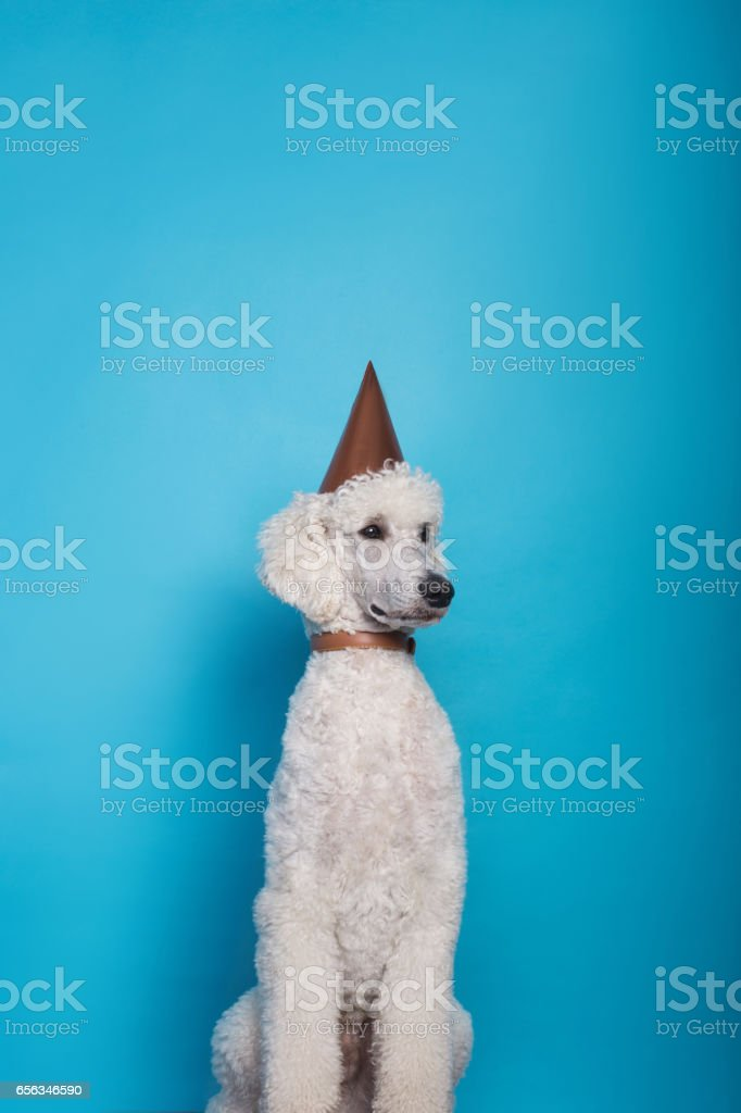 Studio shot of a dog wearing party hat. Royal poodle. Studio portrait over blue background stock photo