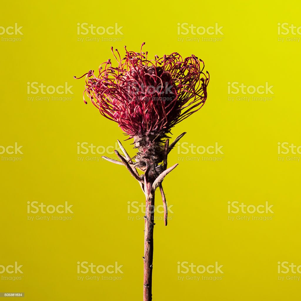 Studio shot of a dry Protea flower stock photo