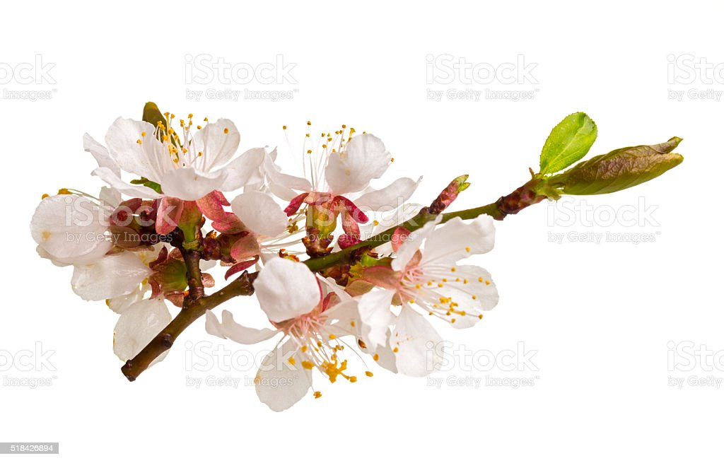 Studio shot of apricot blossom brunch isolated on white stock photo
